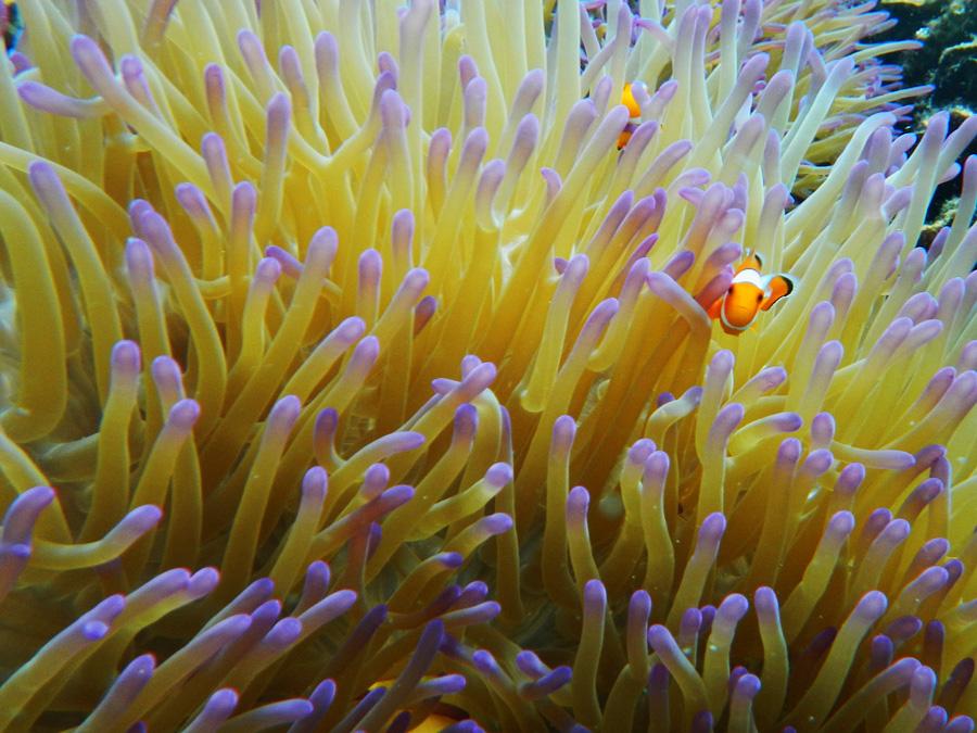Clownfish - Pulau Kelagian - Yopie Pangkey - 2