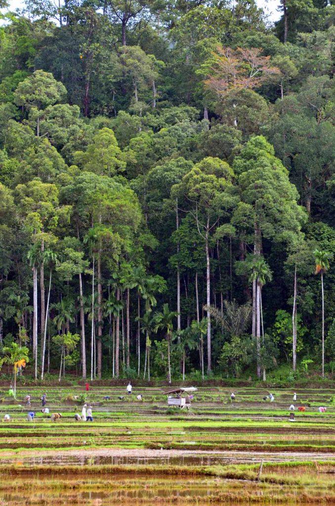Sawah dan hutan damar di latar belakang