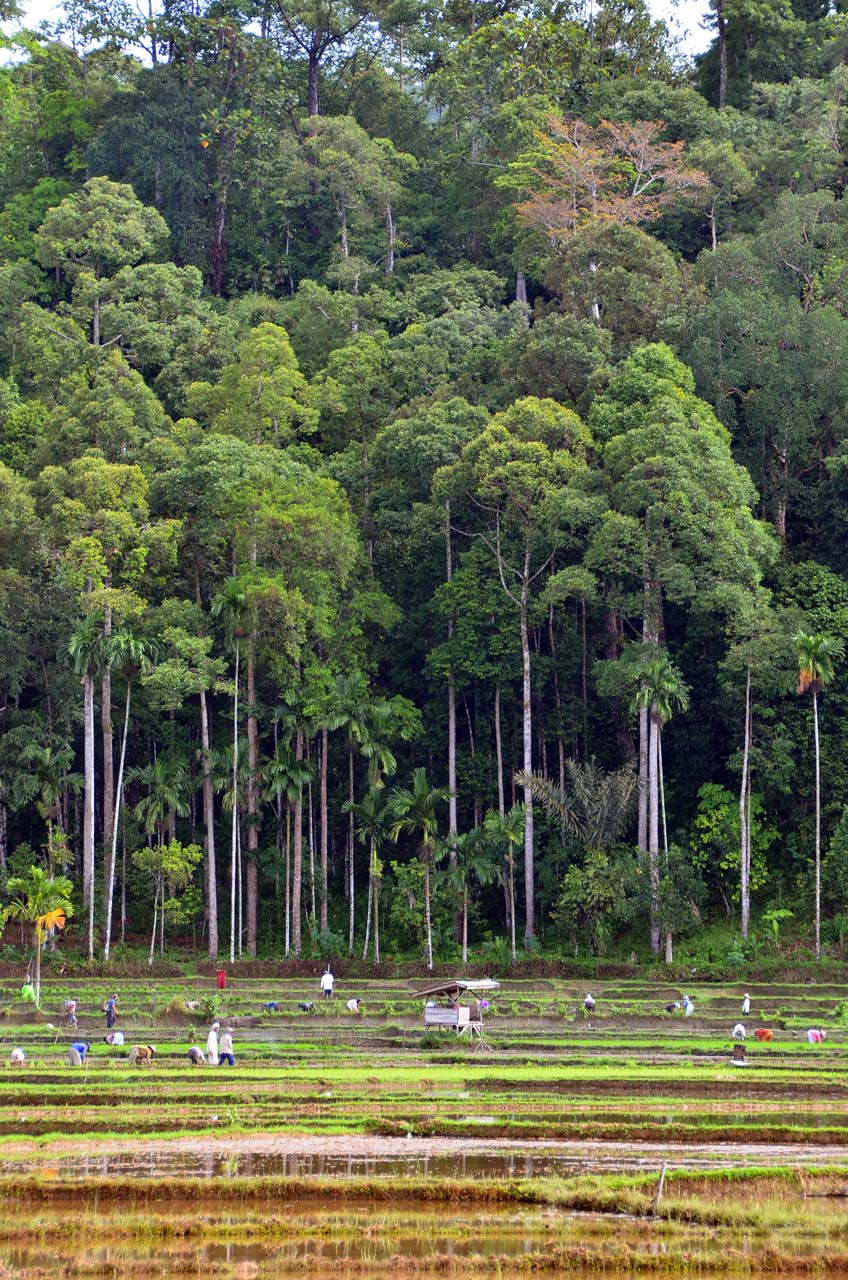 Sawah dan hutan damar di latar belakang - yopie pangkey