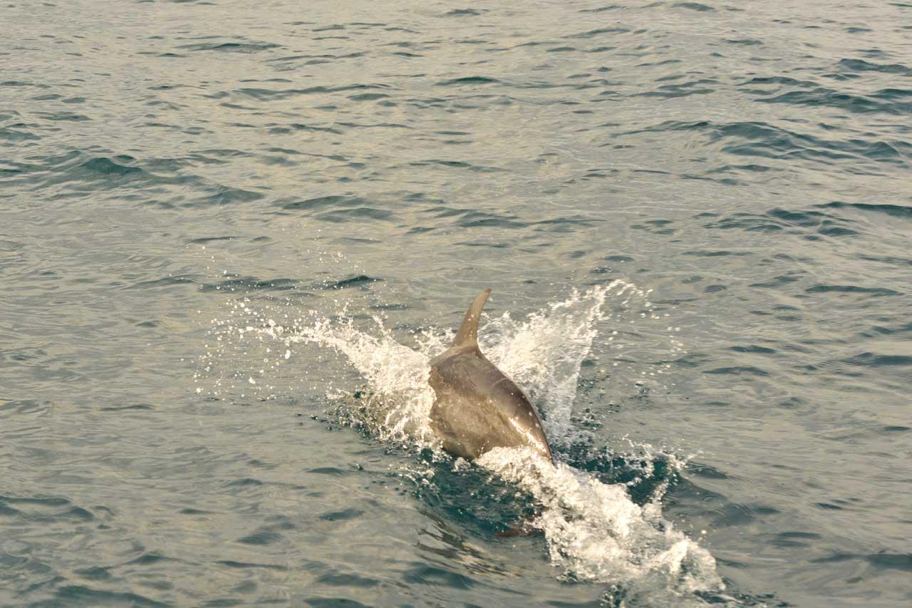 Lumba lumba pulau Pisang Pesisir Barat Lampung - Yopie Pangkey - 4