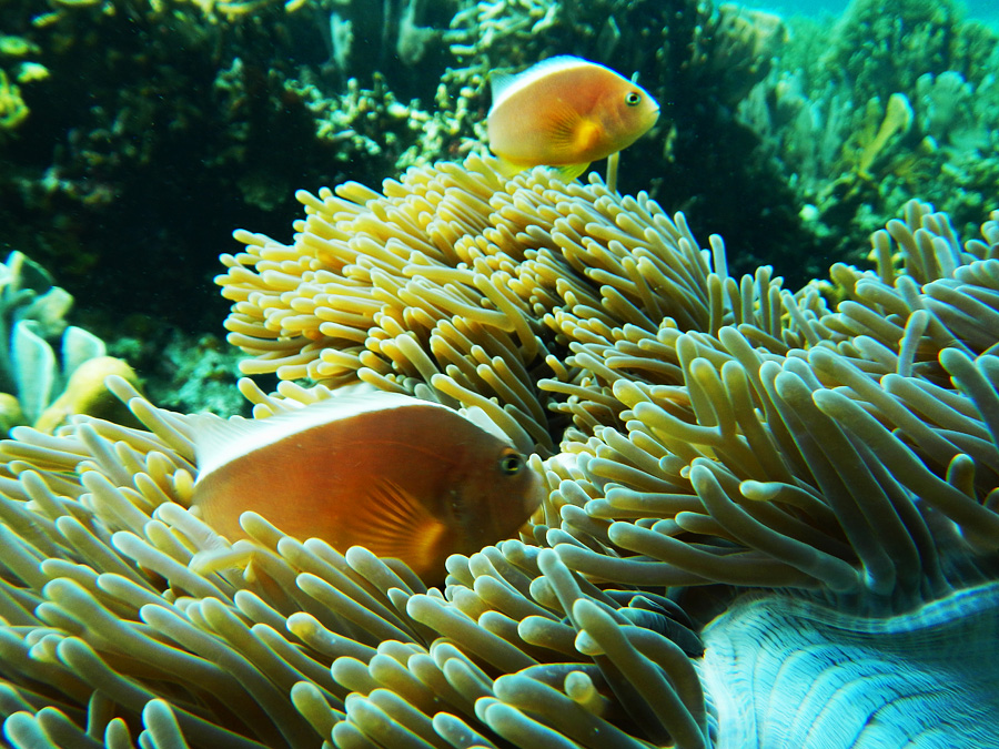 Clownfish - Pulau Kelagian - Yopie Pangkey - 1