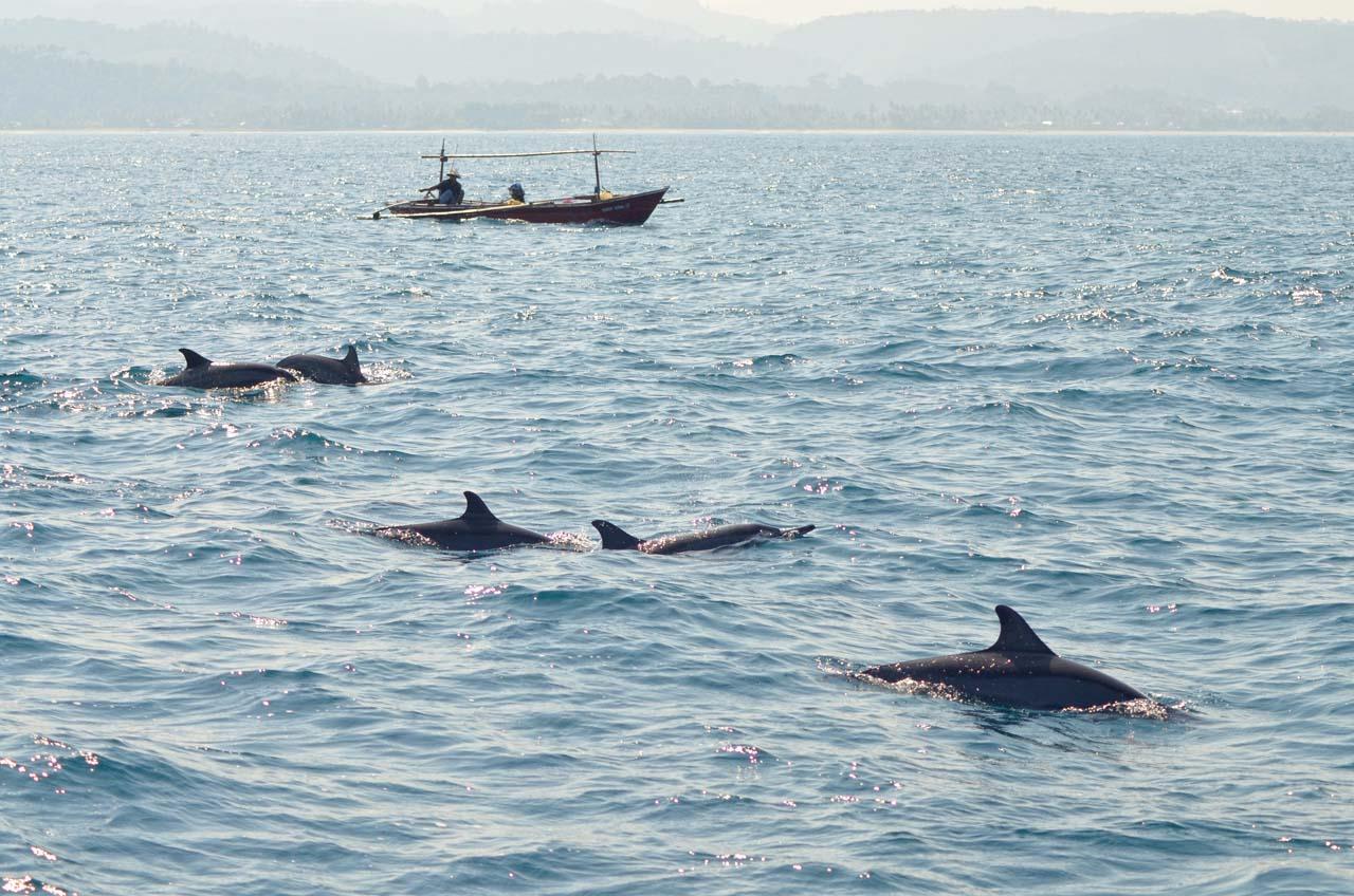 lumba-lumba pulau pisang - yopie pangkey