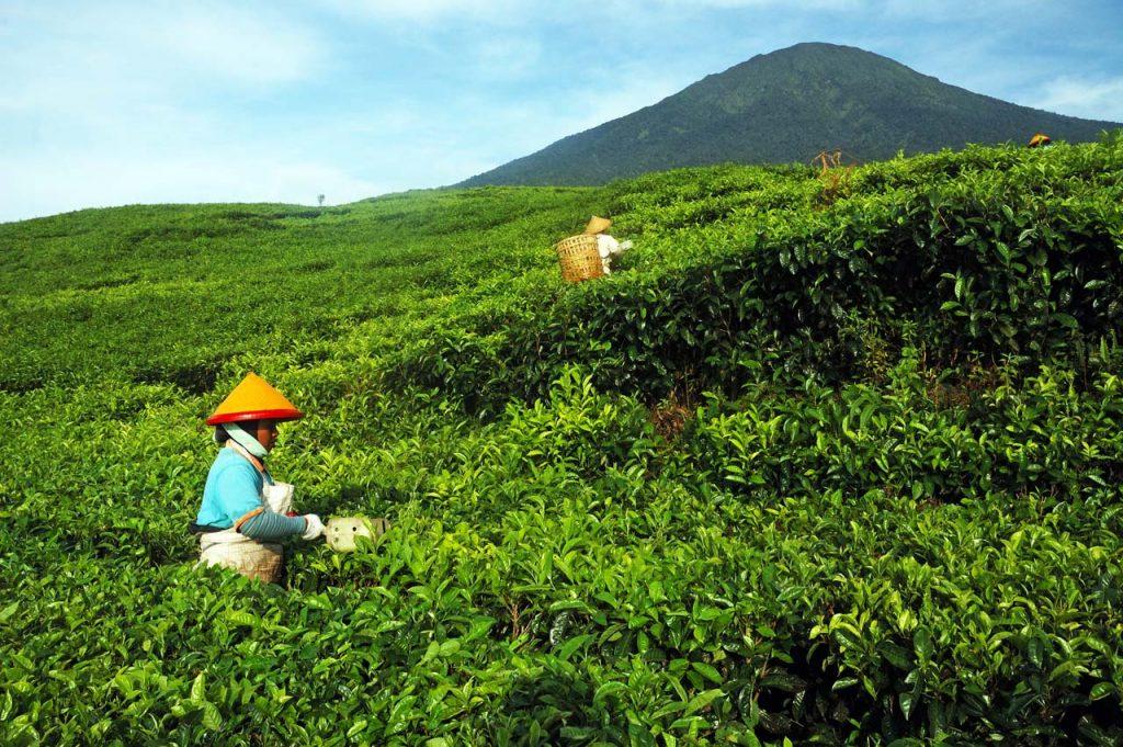 wisata kebun teh pagar alam sumatera selatan - yopie pangkey - 2