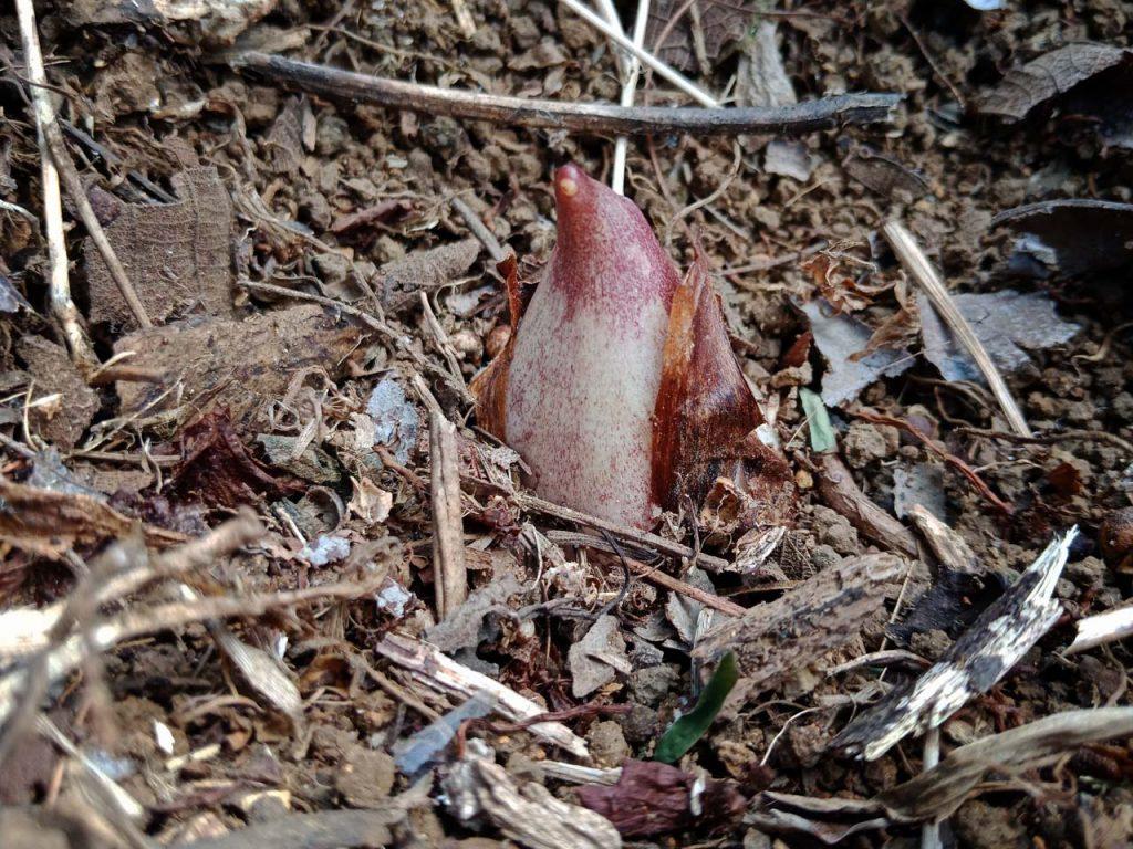 Bunga Bangkai Bengkulu - Taman Konservasi Puspa Langka - Yopie Pangkey 6
