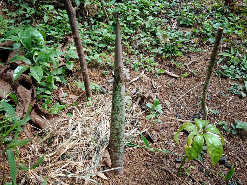 Bunga Bangkai Bengkulu - Taman Konservasi Puspa Langka - Yopie Pangkey 7