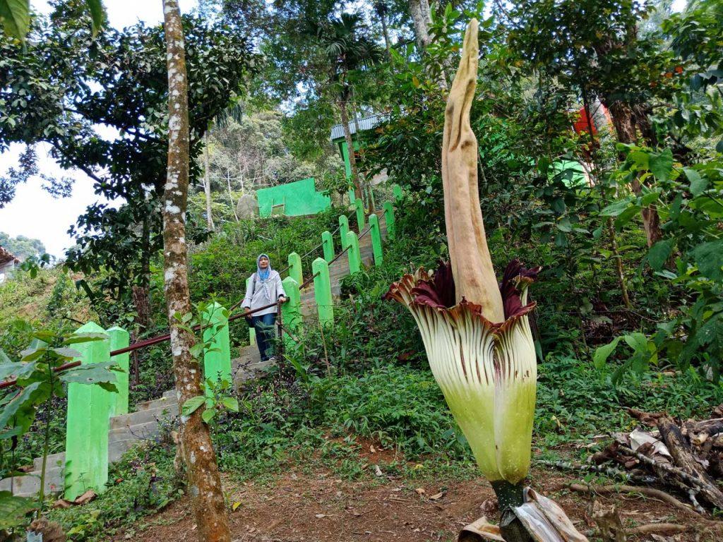 Jenis Bunga Bangkai Bengkulu - Amorphophallus titanum - Yopie Pangkey 9